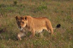 狮子偷偷靠近的年轻人 库存图片