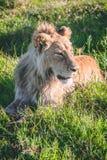 狮子偷偷靠近的牺牲者在非洲 免版税库存图片
