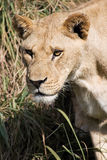 狮子偷偷靠近 库存照片