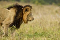 狮子偷偷靠近 免版税库存照片