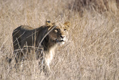 狮子偷偷靠近 免版税库存图片