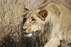 狮子偷偷靠近 图库摄影