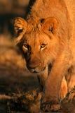 狮子偷偷靠近 免版税图库摄影