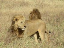 狮子兄弟在塞伦盖蒂国家公园,坦桑尼亚 免版税库存图片