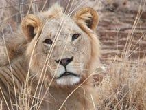 狮子关闭 库存图片