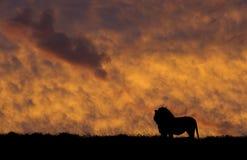 狮子剪影 免版税图库摄影