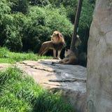 狮子动物园 免版税图库摄影