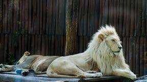 狮子午睡 免版税库存图片
