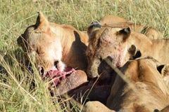 狮子午餐 免版税图库摄影
