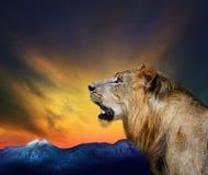 年轻狮子吼声顶头射击的侧视图关闭反对beautifu的 免版税库存图片
