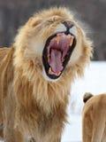 狮子吼声 免版税库存照片