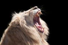 狮子吼声 免版税库存图片