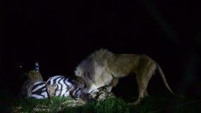 狮子和一匹假斑马 影视素材
