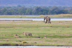 狮子和大象赞比西河 免版税图库摄影