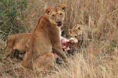 狮子和家庭 免版税图库摄影