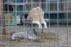 狮子和老虎 免版税库存照片