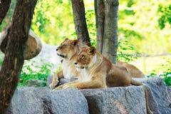 狮子和雌狮休息 库存图片