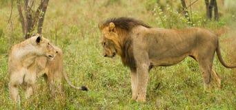 狮子和雌狮在布什在南非 免版税库存照片