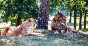 狮子和雌狮在草躺下 库存图片