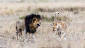 狮子和雌狮在马塞人玛拉 免版税库存照片