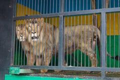 狮子和雌狮肩并肩在细胞机动性动物园投入了 库存图片
