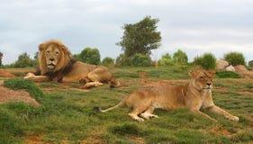 狮子和雌狮 免版税库存图片