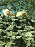 狮子和雌狮 免版税库存照片