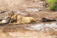 狮子和他的牺牲者长颈鹿 免版税库存照片