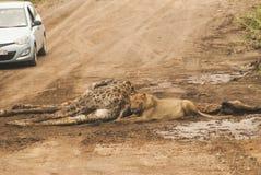 狮子和他的牺牲者长颈鹿 库存照片