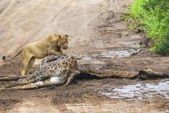 狮子和他的牺牲者 库存图片