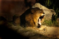 狮子哈欠 免版税库存图片