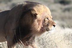 狮子四处寻觅 免版税库存图片