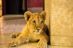 狮子国王小辈 图库摄影