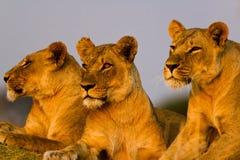 狮子在公园 免版税库存图片