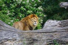 狮子在公园 免版税图库摄影