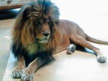 狮子在地板休息的动物园里 库存图片
