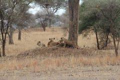 狮子在大草原放松 免版税库存图片