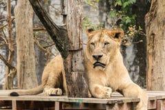 狮子在密林 免版税库存照片