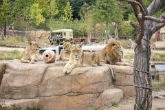 狮子在徒步旅行队动物园里编组 免版税图库摄影