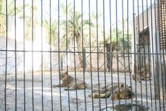 狮子在托泽尔动物园里 库存图片