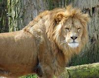 狮子在摄影师的国王皱眉 免版税库存图片