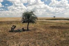 狮子在树荫下 免版税图库摄影