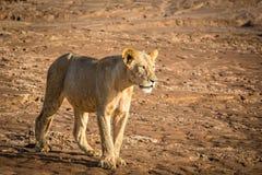 狮子在沙漠 免版税库存图片