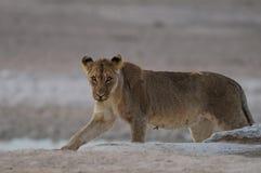 狮子在沙漠 库存照片