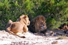 狮子在灌木的树荫下基于地面在一个晴朗的下午的在狂放的Afrika徒步旅行队 免版税库存照片