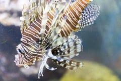 狮子在珊瑚礁中的鱼狩猎 五颜六色的热带海洋生活 埃及摄影热带水下的水 免版税库存图片