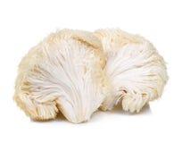 狮子在白色背景隔绝的鬃毛蘑菇 免版税库存照片