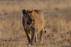 狮子在草原 免版税库存图片