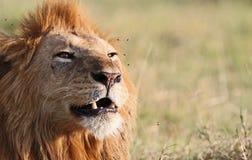 狮子声音 免版税库存照片