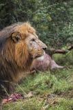 狮子外形 免版税库存图片